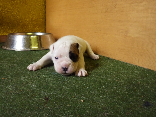 Meine Emma Hat Nachwuchs Old English Bulldogs Sind Keine Kampfhunde